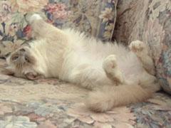 birman_cat